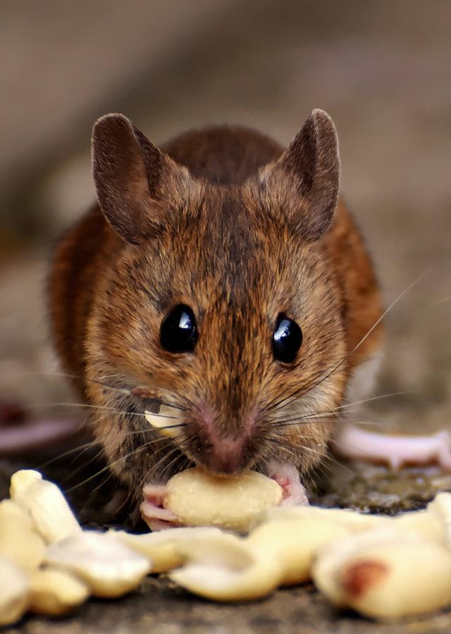 rat qui grignotte la nourriture dans vos placards